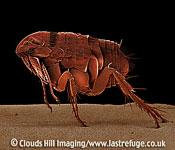 Scanning Electron Micrograph (SEM): Cat Flea, Ctenocephalides felis