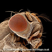 Scanning Electron Micrograph (SEM): Fruit fly, Drosophila melanogaster