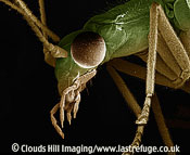Scanning Electron Micrograph (SEM): Green Lacewing, Chrysoperla carnea