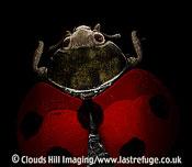Scanning Electron Micrograph (SEM): Seven-Spot Ladybird, Coccinella septempunctata