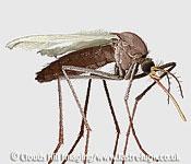 Scanning Electron Micrograph (SEM): Mosquito, Culex pipiens