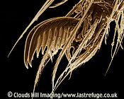 Scanning Electron Micrograph (SEM): Cellar Spider or ?Daddy-long-legs? Spider - close-up of a foot, Pholcus phalangiodes