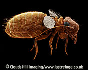 Scanning Electron Micrograph (SEM): Psocid or Book Louse, Lepinotus sp.