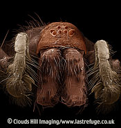 Scanning Electron Micrograph (SEM): Common House Spider - male, Tegenaria domestica