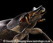 Scanning Electron Micrograph (SEM): Lesser Stag Beetle, Dorcus parallelopipedus - female