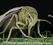 Scanning Electron Micrograph (SEM): Whitefly, Trialeurodes vaporariorum