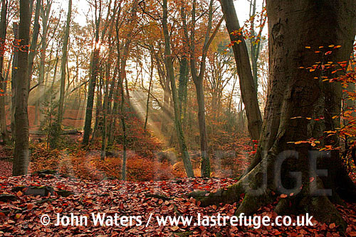 Burnham Beeches (Fagus sylvatica), Autumn, UK