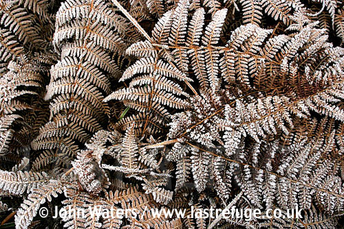 Frosted Bracken (Pteridium aquilinum), UK