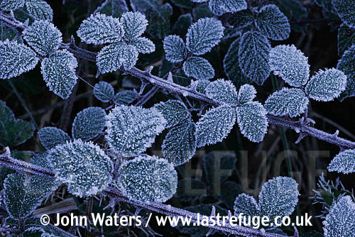 Frosted Brambles (Rubus fruticosus), Somerset, UK