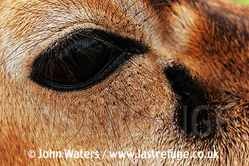 Black Buck (Antelope cervicapra), facial detail of male, Velavader National Park, Gujarat, India