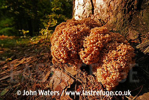 Cauliflower Fungus (Sparassis crispa), Bialowieza National Park, Poland