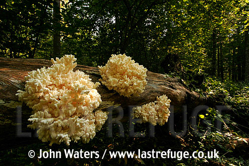 Coral Tooth Fungus (Hericium coralloides), Bialowieza National Park, Poland