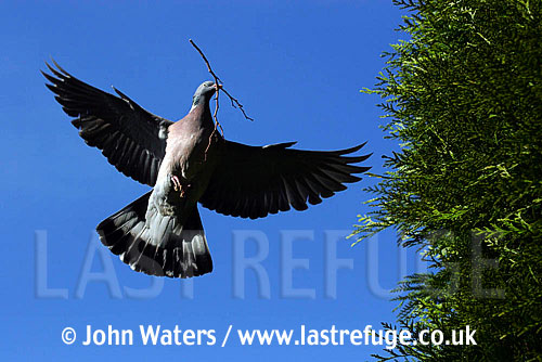 Wood Pigeon (Columba palumbus), flying with nesting material, Somerset, UK