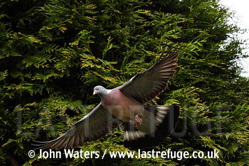 Wood Pigeon (Columba palumbus), in flight, Somerset, UK