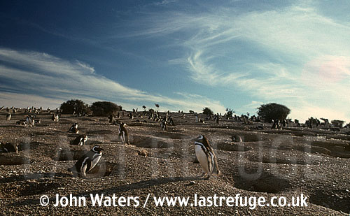 Magellanic Penguins (Spheniscus magellanicus), Adults standing guard by nest burrows, gravelly ground, Punta Tombo, Patagonia, Argentina