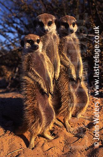 Meerkat standing up (Suricata suricatta) : three adults together, standing at attention, basking in morning sun, Kalahari, South Africa