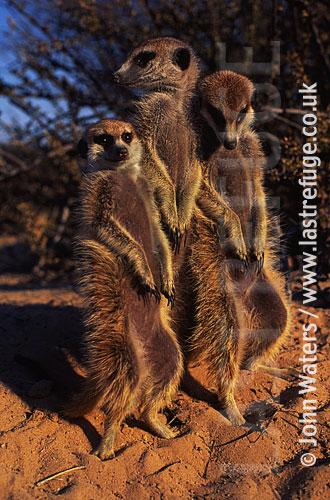 Meerkat juvenile digging (Suricata suricatta) : three adults together, standing at attention, basking in morning sun, Kalahari, South Africa