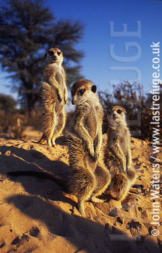 Meerkats (Suricata suricatta) : three adults together, standing at attention, basking in morning sun, Kalahari, South Africa