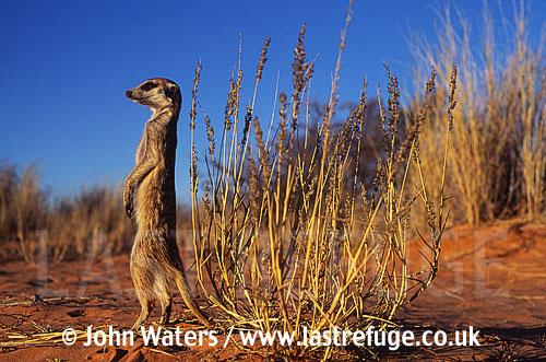 Meerkat standing on hind legs (Suricata suricatta) : one adult, standing at attention, on lookout duty, Kalahari, South Africa