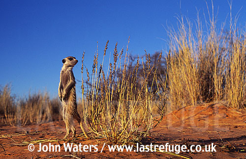 Meerkat standing on hind legs (Suricata suricatta) : one adult, standing at attention, on lookout duty, Kalahari, South Africa
