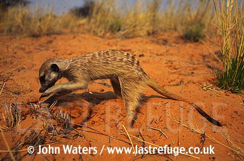Meerkat juvenile, digging (Suricata suricatta) : one juvenile, digging for food in sand, Kalahari, South Africa