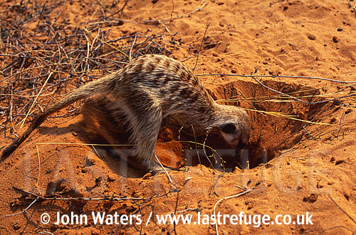 Meerkat at burrow entrance, digging (Suricata suricatta) : one adult, digging burrow in sand, Kalahari, South Africa