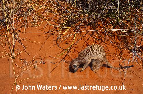 Meerkat (Suricata suricatta), adult, digging for foodKalahari, South Africa