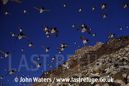 Little Auks at nesting site, Svalbard, Norway, Scandanavia, Arctic