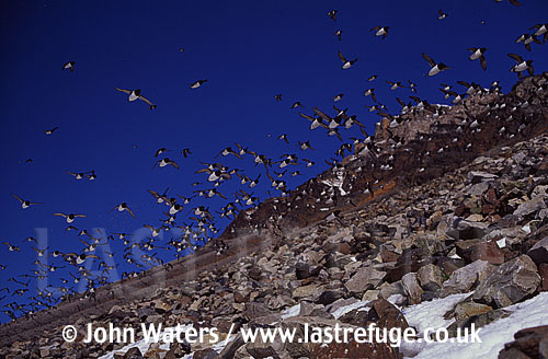 Little Auks at nesting site, Svalbard, Norway, Scandanavia, Arctic