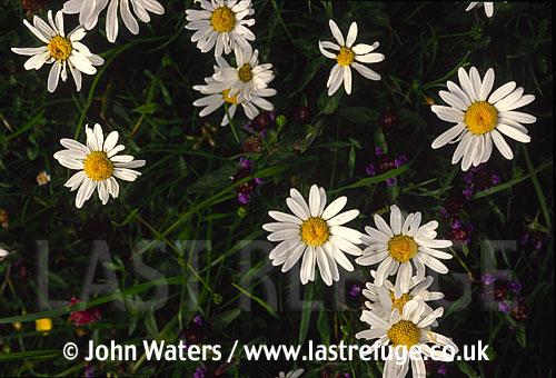 Ox-eye daisies (Leucanthemum vulgare), Compositae), UK