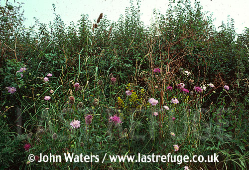 Hedgerow Plants, Knapweed and Scabious etc., UK