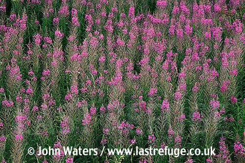 Rosebay onagraceae (Epilobium angustifolium), Waste ground, UK