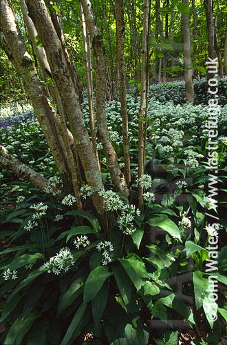 Wild Garlic (Allium ursinum), Long Wood, Cheddar, Somerset, england