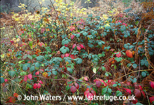 Bramble thicket in November, UK