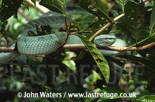 Waglers pit viper, Sukau River, Sabah, Borneo