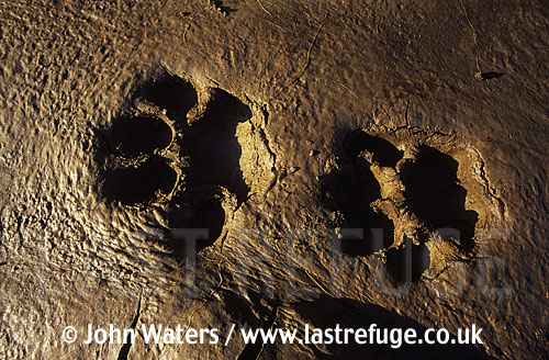 Tiger footprints, Corbett National Park, India, Asia