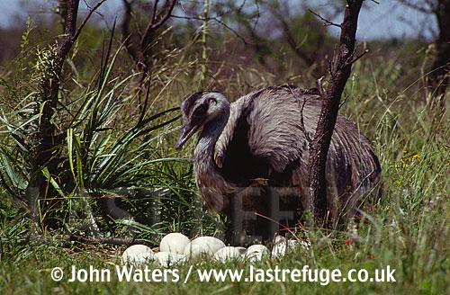 Rhea (Rhea americana), Male at nest, Argentina