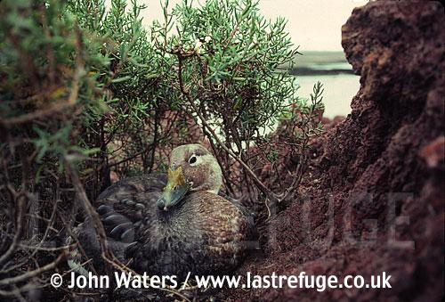 Steamer duck male (Tachyeres leucocephalus), Patagonia, Argentina