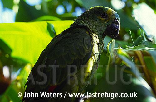 Turquoise-fronted parrot (Amazona aestiva), North-East Argentina, Argentina