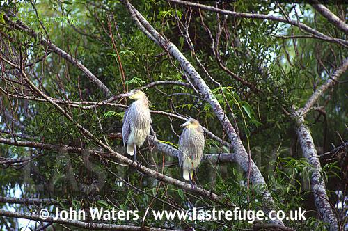 Whistling Herons (Syrigma sibilatrix) (Juveniles), Argentina