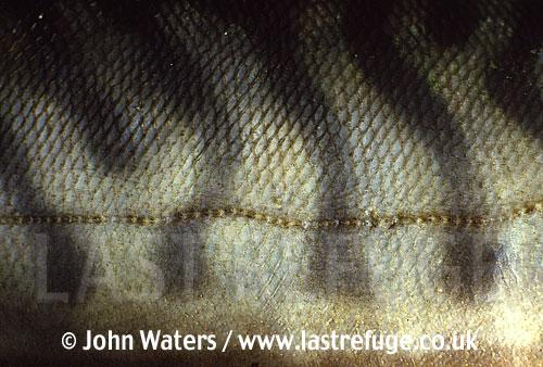 Detail of mackerel skin showing lateral line, UK