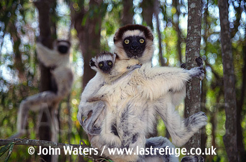 Sifaka (Propithecus verreauxi), Madagascar: mother and baby, in tree, Berenty Reserve, Madagascar