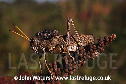 Giant Cricket/grasshopper, Belize, USA