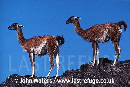 Guanacos (Lama guanicoe), two adults standing on rock, against blue sky, Patagonia, Argentina, South America