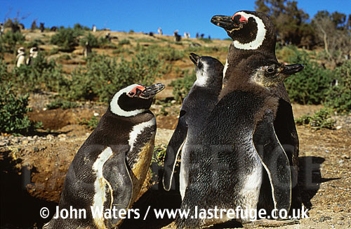 Magellan Penguins (Spheniscus magellanicus) : two adults with two large chicks, Punta Tombo, Patagonia, Argentina, South America