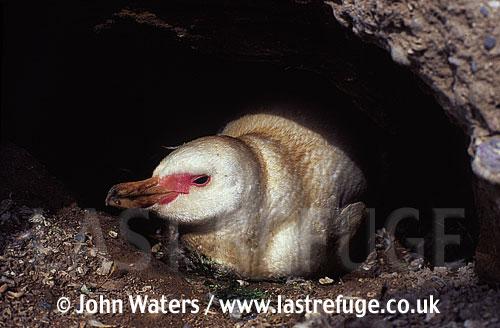 Magellan Penguin (Spheniscus magellanicus) : adult white form, albino, resting in burrow, Punta Tombo, Patagonia, Argentina, South America