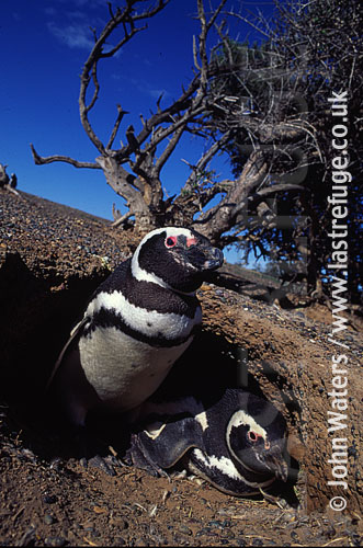 Magellan Penguins (Spheniscus magellanicus) : adult pair, at entrance to burrow, Punta Tombo, Patagonia, Argentina, South America
