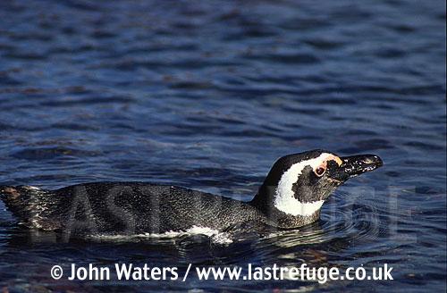Magellan Penguin (Spheniscus magellanicus) : lone adult swimming in sea, Punta Tombo, Patagonia, Argentina, South America