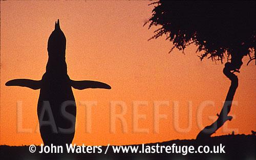 Magellan Penguin (Spheniscus magellanicus) : lone adult calling (braying), courtship call, sunset silouhette, Punta Tombo, Patagonia, Argentina, South America