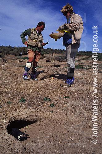 Magellan Penguin (Spheniscus magellanicus) : scientists at work in penguin colony, Punta Tombo, Patagonia, Argentina, South America